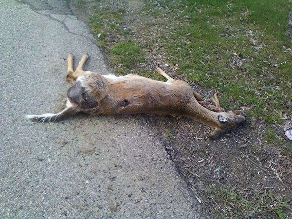 Fawn Laying with Dead Mother 2
