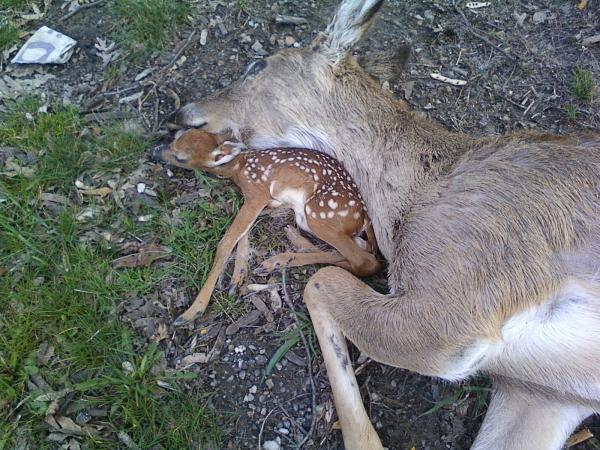 Fawn Laying with Dead Mother