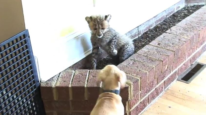 Cheetah cub and Labrador puppy become besties
