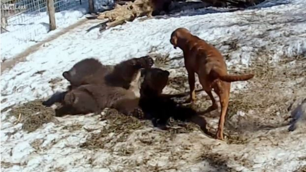 Millie the grizzly bear & King the dog are good friends